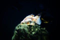 Goldfish in aquarium Stock Photography