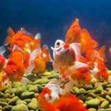 Goldfish in aquarium Stock Photo