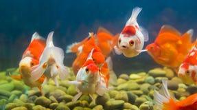 Goldfish in aquarium Stock Image