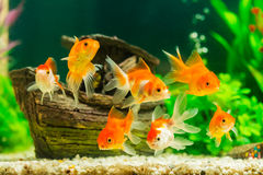 Goldfish in aquarium. With green plants Royalty Free Stock Image