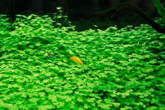 Goldfish in aquarium with green plants Royalty Free Stock Image
