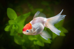 Goldfish in aquarium with green plants, snag and stones Royalty Free Stock Images
