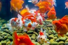 Goldfish in aquarium with green plants Stock Photo