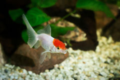 Goldfish in aquarium with green plants, snag and stones Stock Photo