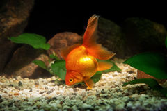 Goldfish in aquarium with green plants, and stones Stock Image