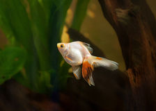 Goldfish in aquarium with green plants, and stones Stock Images