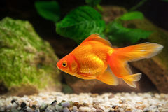 Goldfish in aquarium with green plants, and stones Royalty Free Stock Image