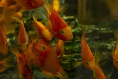 Goldfish in an aquarium with green plants and stones stock image