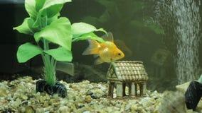 Goldfish in an aquarium. And green seaweed stock footage