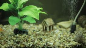 Goldfish in an aquarium. And green seaweed stock video