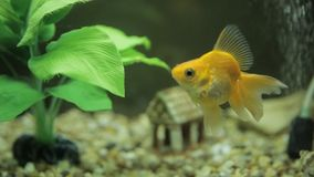 Goldfish in an aquarium. Goldfish in an aquarium and green seaweed stock video