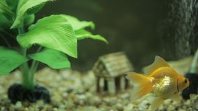 Goldfish in an aquarium. Goldfish in an aquarium and green seaweed stock footage