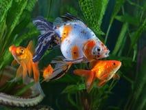 Goldfish, aquarium, a group of fish Stock Images
