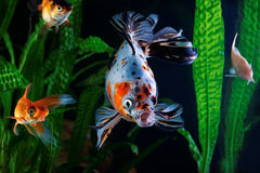 Goldfish, aquarium, group of fish on the background of aquatic plants Stock Photos