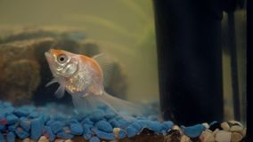 Goldfish in the aquarium at home. Aquarium filer, rock and plants in the background.  stock video footage