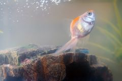 Goldfish in the aquarium at home. Aquarium filer, rock and plants in the background royalty free stock images