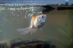 Goldfish in the aquarium at home. Aquarium filer, rock and plants in the background stock image