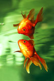 Goldfish . Royalty Free Stock Photos