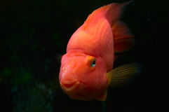 Goldfish in the aquarium. Royalty Free Stock Images