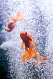 Goldfish in aquarium over nice bokeh of bubbles. Stock Photo