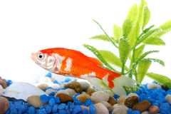 Goldfish in aquarium Stock Image