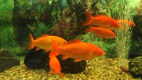 Goldfish. In aquarium and oxygen vibrator in background stock footage
