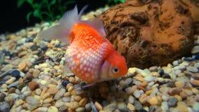 Goldfish Aquarium. Royalty Free Stock Photos