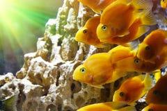 Goldfish in the aquarium. Underwater world Royalty Free Stock Photos