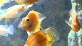 Goldfish in the aquarium. Underwater world stock footage
