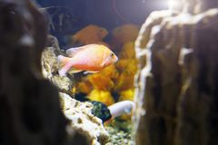 Goldfish in the aquarium.Underwater world. Goldfish in the aquarium. Underwater world.Aquarium fish Royalty Free Stock Photography