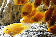 Goldfish in the aquarium. Underwater world Royalty Free Stock Image