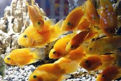 Goldfish in the aquarium. Underwater world Stock Photography