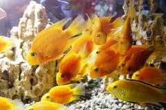 Goldfish in the aquarium. Underwater world Stock Images