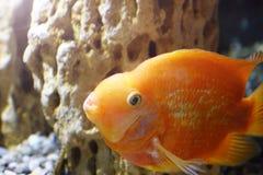 Goldfish in the aquarium. Underwater world Stock Photos