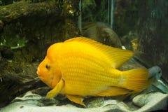 Goldfish in the aquarium stock photography