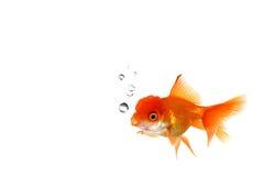 Goldfish arancione operato in acqua Fotografia Stock