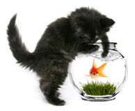 Goldfish asustado que pronto será comido Imágenes de archivo libres de regalías