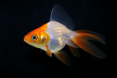 Goldfish auf Schwarzem Stockbild