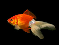 Goldfish auf Schwarzem Stockfotos