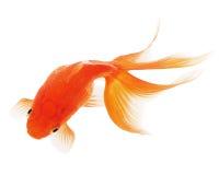 Goldfish auf Weiß Stockfotografie