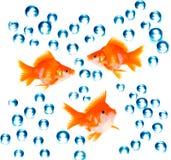Goldfish avec des bulles Photos libres de droits