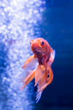 Goldfish on a background of air bubbles Stock Photos