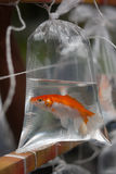 Goldfish in a bag Royalty Free Stock Photo