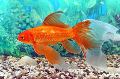 Goldfish with beautiful fins Stock Photography