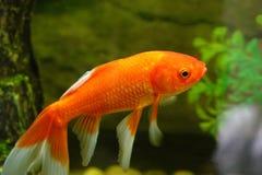 Goldfish. A beautiful goldfish in water royalty free stock image