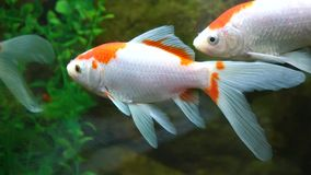 Goldfish. A beautiful goldfish l in water stock video footage
