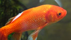 Goldfish. A beautiful goldfish l in water stock video