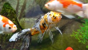 Goldfish. A beautiful goldfish in water stock video footage