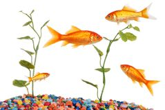 Goldfish-Becken Stockbild
