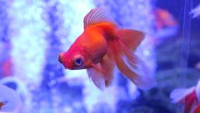 Goldfish big eyes exotic. The goldfish with big eyes exotic veiltail stock video